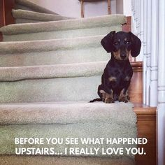 """570 Likes, 20 Comments - Dachshund Quotes & Pictures (@mydachshundfamily) on Instagram: """"Me too... . @hudsontheminidachshund"""""""
