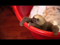 cute baby sloth being ... slothy