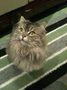 Sissy Cat | Pawshake London