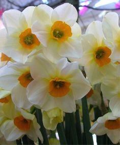 Narcissus Beautiful Eyes - Jonquilla Narcissi - Narcissi - Flower Bulbs Index