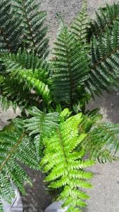 Polystichum Polyblepharum or the Japanese Tassel fern - just one of our fabulous fern collection to buy online or from our London garden centre, delivery UK Japanese Garden Landscape, Japanese Plants, Japanese Garden Design, Japanese Flowers, Japanese Gardens, Tassel Fern, Evergreen Ferns, Woodland Plants, London Garden