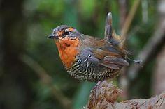 Chucao, el canto más bonito.  Best singer ever! Birds 2, Small Birds, Little Birds, Colorful Birds, Wild Birds, Pretty Birds, Beautiful Butterflies, Beautiful Birds, Bird Watching