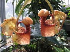 Tropical rainforest orchid: Bucket orchid