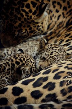 Mother Leopard and her Cubs.