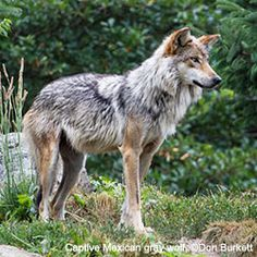 Mexican gray wolves are on the brink, with only 75 left in the wild!