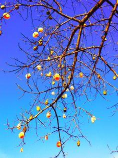Los palos borrachos abren sus frutos y nos adornan con copos de algodón.