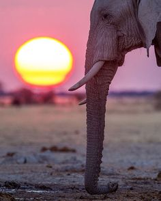 "1,711 Likes, 38 Comments - HendriVenter Photography (@hendriventer) on Instagram: ""Sunset at a waterhole in #Nxai Pan National Park, Botswana. #elephant #big5 #photosafari #safari…"""