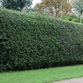 The Ideal Evergreen Hedge - Easy to grow Drought tolerant, once established Low maintenance Pest & disease resistant Adapts to many soils This all around American winner is naturally adapted to growing in native USA soil. Unlike other holly trees, this specimen evergreen tree remains fully branched to...
