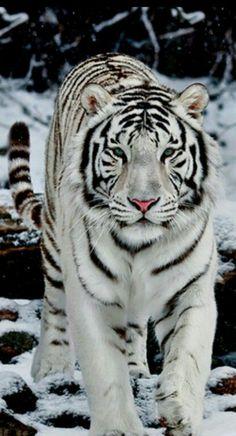 White tiger❤