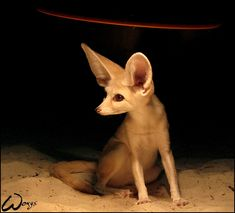 Fennec: Looking for the signal by woxys on DeviantArt