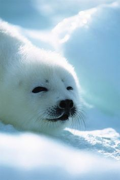 The harp seal or saddleback seal is a species of earless seal native to the northernmost Atlantic Ocean and parts of the Arctic Ocean. Harp Seal Pup, Baby Harp Seal, Baby Seal, Cute Baby Animals, Animals And Pets, Nature Animals, Funny Animals, Cute Seals, Underwater Creatures