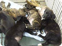 Zanesville, OH - Boxer Mix. Meet 39608-39615, a puppy for adoption. http://www.adoptapet.com/pet/11590233-zanesville-ohio-boxer-mix