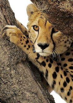 Hm... what do we see here...   ...lunch?      Cheetah