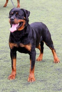 Rottweilers forever!