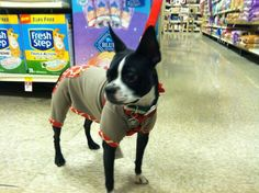 Figgy, my Boston Terrier, in a Christmas onesie (age 1  1/2 years)