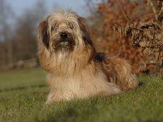 Photo chien Berger des Pyrénées - 807 - Wamiz