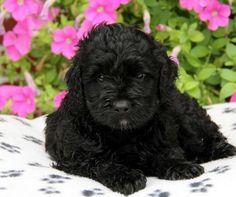 Black Portuguese Water Dog Puppy