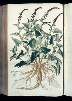 Leonhart Fuchs: Das Kräuterbuch von 1543 Chenopodium bonus-henricus