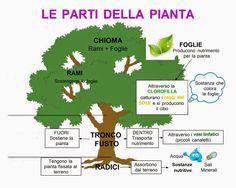 fotosintesi clorofilliana scuola primaria