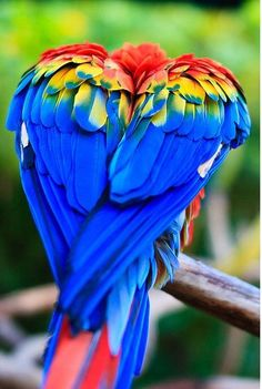 Parrots with their rainbow coloured feathers. Another of the beautiful animals to be found in the Amazon.