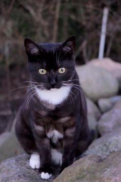 Figaro Kat | Pawshake