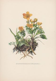 1950's Botanical Print Caltha palustris by AntiquePrintGarden