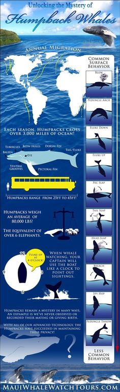 The Humpback Whale infographic above was built to show some of the annual migration routes across the globe, the most common surface behaviors and the least common (in our experience), names of anatomical parts of a humpback whale, length and weight of a typical humpback whale, tips on whale watching, and some mysteries that have yet to be solved. #humpbacks #whales #mauiwhalewatching #whalewatching Under The Water, Under The Sea, Save The Whales, Humpback Whale, Whale Watching, Animal Facts, Marine Biology, Ocean Life, Marine Life