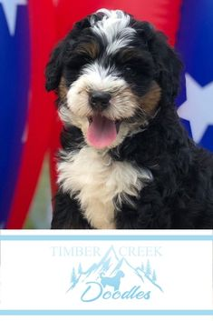 We're dedicated to raising the best Mini Goldendoodle and Mini Bernedoodle puppies for your family. We start with our wonderful parent dogs and spend countless hours socializing the puppies - and we offer a guarantee! Bernedoodle Puppy, Mini Goldendoodle, Puppies For Sale, Cute Puppies, Bernadoodle, Group Of Dogs, Thing 1, Dog Boarding, My Animal