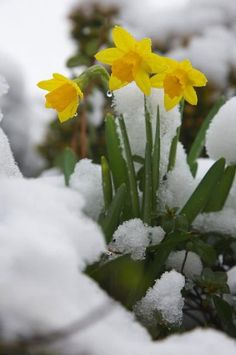 First daffodils in flower with the winter snow We planted the smaller varieties of daffodils such as Pansies, Daffodils, Tulips, Winter Flowers, Spring Flowers, Exotic Flowers, Beautiful Flowers, Purple Flowers, Snow Flower