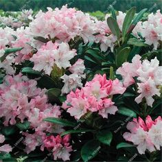 Outstanding Pin By Tatiana Orbu On Rhododendrons  Azalea  Pinterest  White  With Fair Cheap Garden Seed Buy Quality Flowerpot Wall Directly From China Garden  Transplanter Suppliers  Pcs A Bag Rhododendron Azalea Flower Seedsraro  Diy  With Awesome Princess Garden Restaurant Also Outdoor Garden Shelter In Addition The Secret Garden Full Movie Online And Hilton Garden Inn Mestre Italy As Well As Garden Furniture Newcastle Additionally Jade Garden Woodbridge From Aupinterestcom With   Fair Pin By Tatiana Orbu On Rhododendrons  Azalea  Pinterest  White  With Awesome Cheap Garden Seed Buy Quality Flowerpot Wall Directly From China Garden  Transplanter Suppliers  Pcs A Bag Rhododendron Azalea Flower Seedsraro  Diy  And Outstanding Princess Garden Restaurant Also Outdoor Garden Shelter In Addition The Secret Garden Full Movie Online From Aupinterestcom