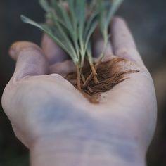 Lavanda - Tăiere, Înmulțire - magazinul de acasă Gardening, Fitness, Plants, Lawn And Garden, Horticulture