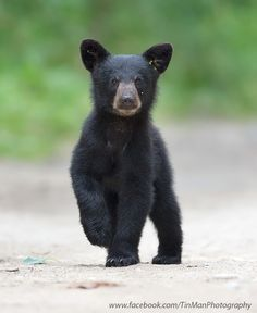 """""""A Curious Black Bear Cub!""""  (Title Given By The Photographer: Tin Man on 500px.)"""