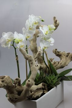 Mini orquídea madeira exótica