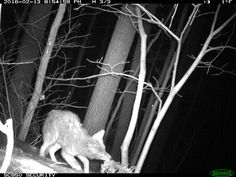 Coyote has to work for his supper  - Devil's Lake State Park Critter Cams - www.devilslakewisconsin.com