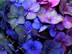hydrangia - blueberry & violet     actually I do have these in my backyard, love them!