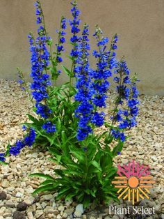 Plant Select: 'Grand Mesa' or  Penstemon mensaurum (beard tongue). Blue! 24-30 inches tall.