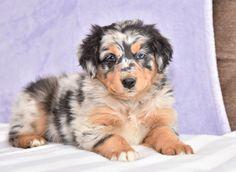 Australian Shepherd Puppies for Sale Puppies For Sale, Cute Puppies, Cute Dogs, Dogs And Puppies, Doggies, Australian Shepherd Puppies, Australian Shepherds, Pokemon Fusion, Cute Baby Animals