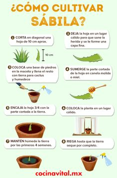 Cómo cultivar sábila o aloe vera con una hoja If you use aloe vera for beauty treatments or want a aloe plant at home, you can grow it yourself! Do it using a sheet, check how!