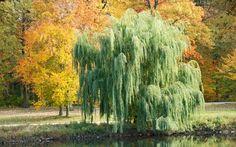 Rüya Tabirleri   Rüyada Söğüt Ağacı Görmek