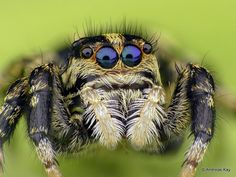 Jumping Spiders are so smart! Levitation Photography, Macro Photography, Water Photography, Abstract Photography, Alien Creatures, Sea Creatures, N Animals, Cool Bugs, Jumping Spider