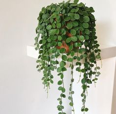 """989 Likes, 29 Comments - Capra Designs (@capradesigns) on Instagram: """"Where oh where can I get myself a string of coins plant!?! // pic by @thecottonplant //…"""""""