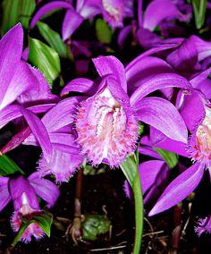 Tibetan Peacock-Orchid - Pleione tongariro