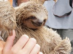 This sloth is smiling because no one has ever scratched her belly before.