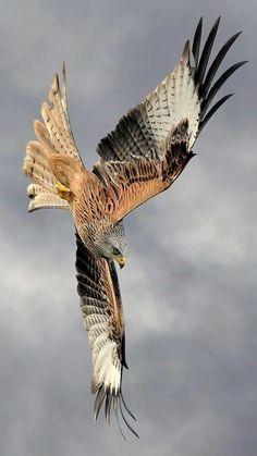 3D GOLD SWOOPING BOLD EAGLE HAWK HARRIER FALCON BIRD OF PREY RAPTOR BELT BUCKLE