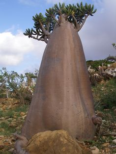 Dendrosicyos socotranus; cucumber tree on the island of Socotra of the coast of…