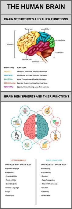 Psychology : The Human Brain Its Structures And Their Functions | Visual.ly