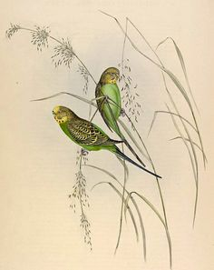 Gould's Lithograph of Budgerigars from his Birds of Australia (1840s)