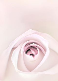 A soft pink rose.  Photo by Scott Norris photography.