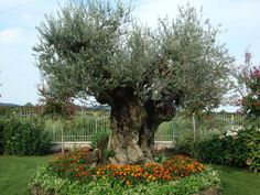 Aiuola con ulivo e fiori progetti da provare pinterest for Aiuola con ulivo
