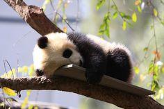 panda bear | via Tumblr